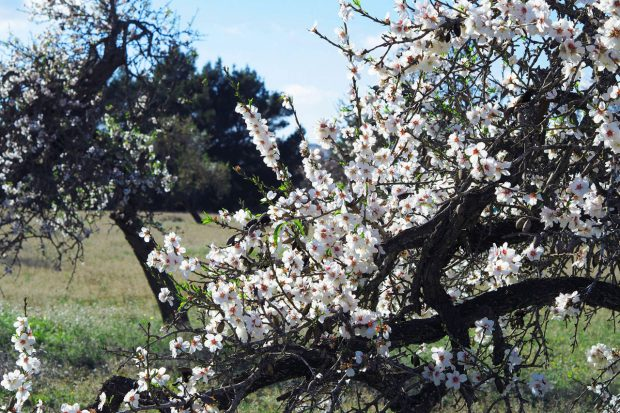 The Almond blossom is one of nature'sfinest winter sights in Ibiza