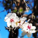 The Ibiza Almond Blossom by Zoe Newlove