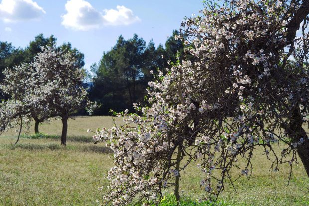 The Almond blossom signifies the coming of spring as the days get longer and warmer.