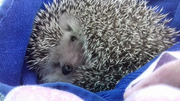 Can Hog who do an amazing job rescuing, rehabilitating and releasing Ibiza Hedgehogs back into the wild