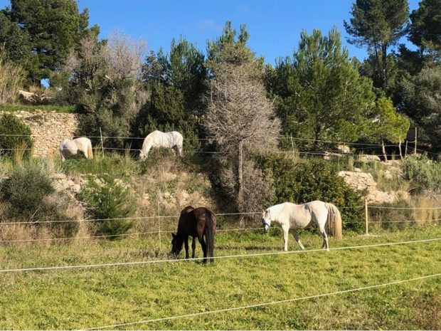 The horses enjoying their paddock at North Ride Ibiza
