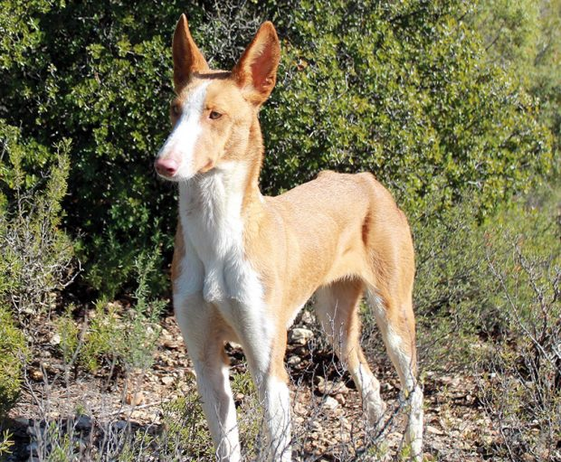 the Ibizan Hound Podenco Ibicenco